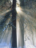 Sun Rays Streaming Through Snow Covered Trees, Yosemite National Park, California, USA Photographic Print by Christopher Bettencourt