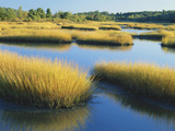 Reeds Growing in Marsh, Maine, USA Photographic Print by Scott T. Smith