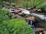 Lupine Along Jacobsen Creek in the Pioneer Range of Montana, USA Stampa fotografica di Chuck Haney