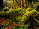 Hall of Mosses Trail in Hoh Rainforest in Olympic National Park, Washington, USA Photographic Print by Chuck Haney