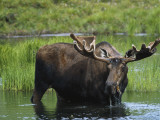 Bull Moose Standing in Tundra Pond, Denali National Park, Alaska, USA Photographic Print by Hugh Rose