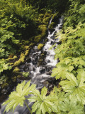 Plants Growing Beside Creek in Forest, Olympic National Park, Washington, USA Photographic Print by Stuart Westmoreland