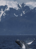 Humpback Whale Breaching, Inside Passage, Alaska, USA Photographic Print by Stuart Westmoreland