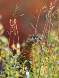 Willow Ptarmigan Amongst Tundra, Denali National Park, Alaska, USA Photographic Print by Hugh Rose