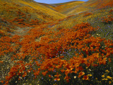Poppies Growing on Valley, Antelope Valley, California, USA Photographic Print by Scott T. Smith