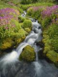 Pink Monkey Flowers Growing Along Stream, Mount Rainier National Park, Washington, USA Fotografie-Druck von Stuart Westmoreland