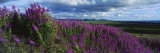 Fireweeds Blowing in Evening Breeze, Mackenzie Mountains, Arctic Circle, Canada Photographic Print by Paul Souders