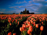 Commercial Field of Pink Tulips Near Mount Vernon, Washington, USA Photographic Print by Chuck Haney