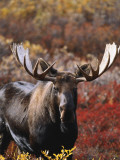 Bull Moose in Tundra, Denali National Park, Alaska, USA Photographic Print by Hugh Rose