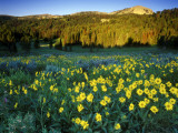 Wildflowers Near Lionshead Mountain, Gallatin National Forest, West Yellowstone, Montana, USA Stampa fotografica di Chuck Haney