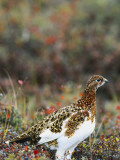 Willow Ptarmigan Amongst Tundra, Denali National Park, Alaska, USA Photographie par Hugh Rose
