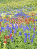 Wildflowers Growing in Mount Timpanogos Wilderness Area, Wasatch Mountains, Uinta National Forest,  Photographic Print by Scott T. Smith