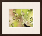 Dandelion Print by Christopher Talbot Frank