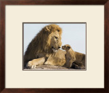 Lion Cub and Male Adult, Kenya Art by Suzi Eszterhas