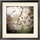 Cherry Blossoms Limited Edition Framed Print by Rebecca Tolk