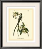 Fork-Tailed Flycatcher Prints by John James Audubon