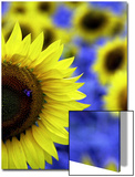 Sunflower Closeup Posters by Abdul Kadir Audah