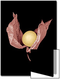 Pink Husked Cape Gooseberry Posters by Claire Morgan