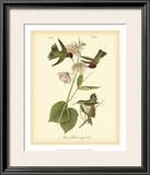 Anna Hummingbird Print by John James Audubon