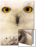 Close-Up of a Snowy Owl Prints by Abdul Kadir Audah