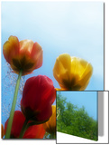 Tulips from a Low Angle Prints by Claire Morgan