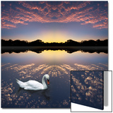 Composited Image of Swan in Lake Prints by Diane Miller