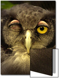 Winking Owl Prints by Abdul Kadir Audah