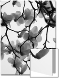 Magnolia Blossoms Silhouetted in Black and White on a Tree Prints by Andrea Sperling