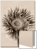 Still Life Photograph, a Gerbera Close-Up with Sepia Toning Posters by Abdul Kadir Audah