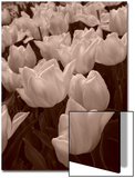 Field of Tulips in Holland, Keukenhof, Holland, Sepia Prints by Abdul Kadir Audah