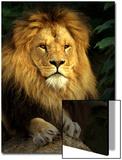 Lion (Panthera Leo) Portrait Posters by Abdul Kadir Audah