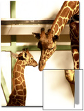 Giraffe Mother and Child Snuggle Posters by Abdul Kadir Audah