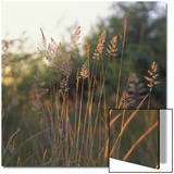 Orchard Grass, Washington Prints by Reynolds Trish