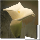 Calla Lily (Zantedeschia Aethiopica), Spring, Oregon, North America Prints by Reynolds Trish
