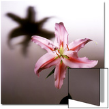 Pink Lily Blossom with Shadow Poster by Deon Reynolds