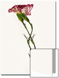 Intertwined Carnation Flowers Print by Abdul Kadir Audah