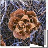 Singleleaf Pinyon Pine Cone, Pinus Monophylla, Nevada Poster by Reynolds Trish