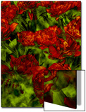 A Bed of Red Curly Tulips, Keukenhof, Holland Prints by Abdul Kadir Audah