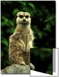 Curious Meerkat, Suricata Suricatta Art by Abdul Kadir Audah
