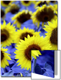 Sunflowers Closeup Posters by Abdul Kadir Audah