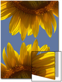 Sunflowers Posters by Abdul Kadir Audah