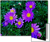 Purple Daisies Aganst Rich Green Leaves Poster by Rich LaPenna