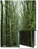 Row of Trees in the Woods Posters by Rob Lang