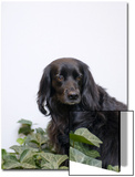 Black, Cocker Spaniel Mix Dog in Ivy Against White Posters by Daniel Root