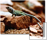 Close-Up of Greenish-Colored Lizard, Sedona, Arizona, USA Prints by Margaret L. Jackson