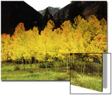 Brilliant Golden Aspen Trees in Rocky Mountains Near Silverton, Southwestern Colorado, USA Poster by Margaret L. Jackson