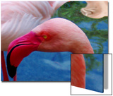 Headsup of Flamingo Bird Posters by Rich LaPenna