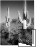 Two Saguaro (Carnegiea Gigantea) Cactii Prints by Diane Miller
