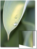 Water Drop on Leaf of Agave Attenuata, Prince Albert, Western Cape, South Africa Prints by Neil Overy