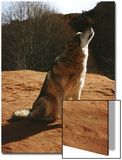 Gray Wolf Howling, Sedona, Arizona, USA Prints by Margaret L. Jackson
